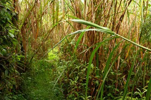 A trail through the jungle thickly overgrown with plants and bushes.